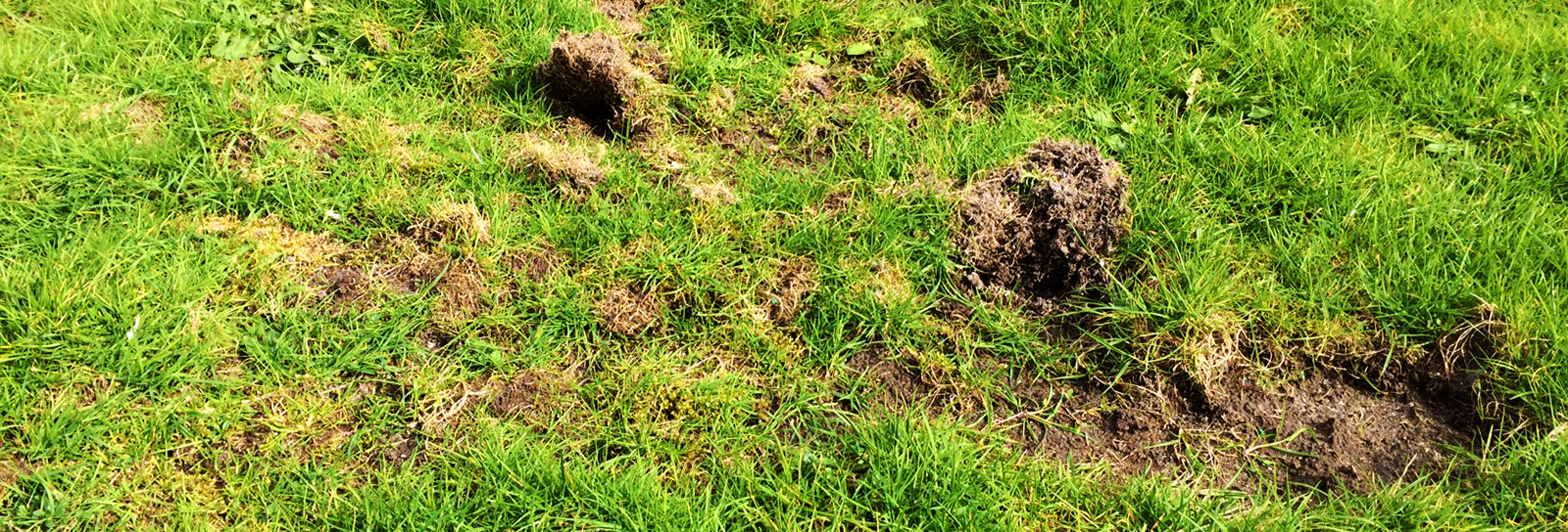 Chafer beetle infested damaged lawn