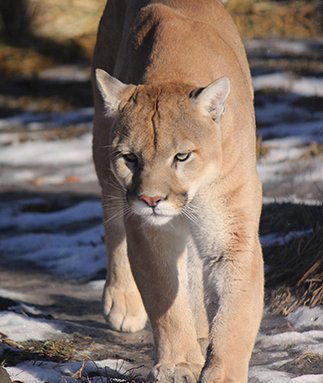 Cougar Safety Tips