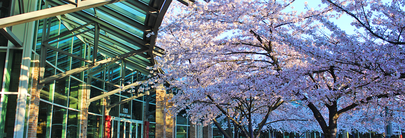 Cherry blossoms in front of City Hall